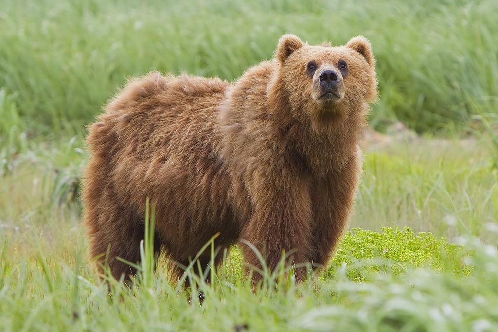 1024px 2010 kodiak bear 1 - معرفی 12 خرس بزرگ جهان