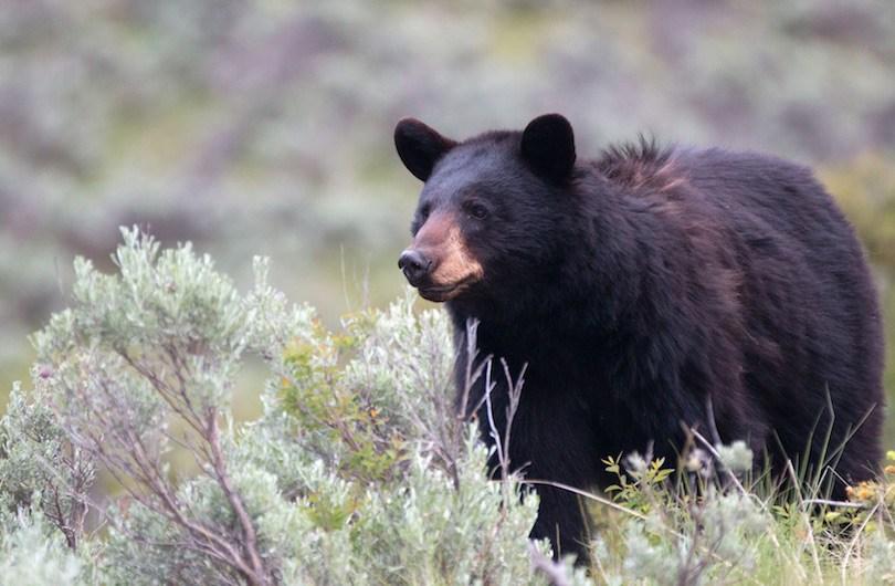 American black bear - معرفی 12 خرس بزرگ جهان