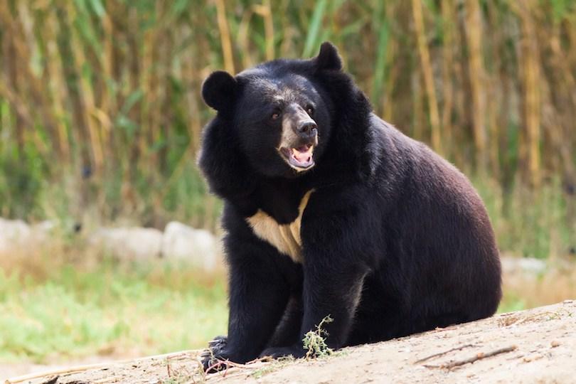 Asian Black Bear - معرفی 12 خرس بزرگ جهان