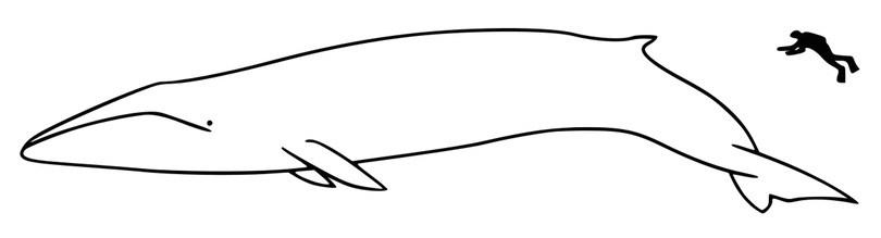 Fin whale size - 10 نهنگ (وال) بزرگ دنیا