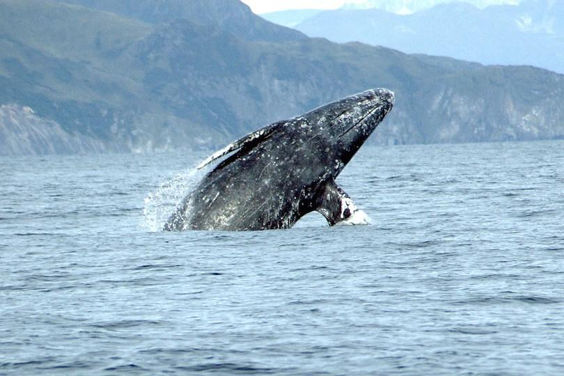 Gray Whale - 10 نهنگ (وال) بزرگ دنیا