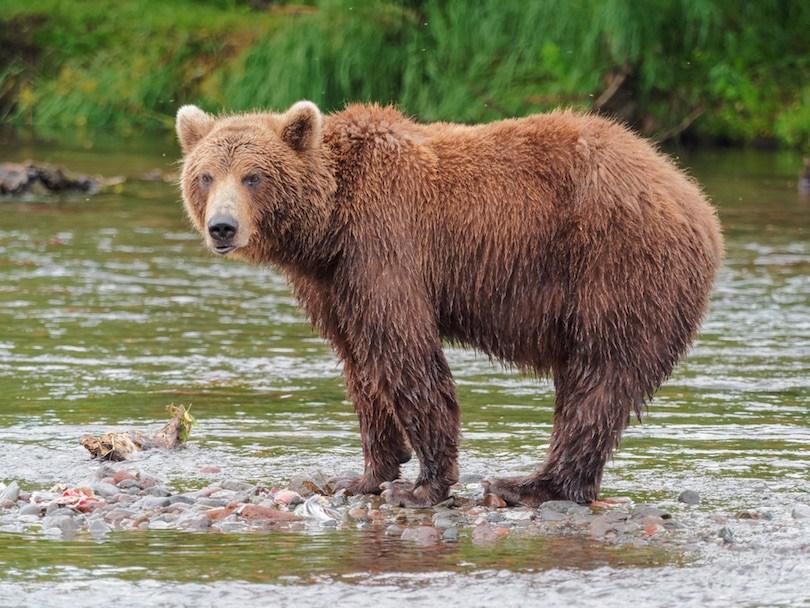 Kamchatka Brown Bear - معرفی 12 خرس بزرگ جهان