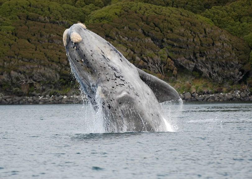 بزرگترین نهنگ ها Right_Whale