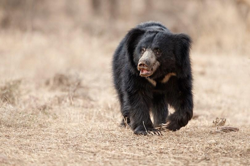 Sloth bear - معرفی 12 خرس بزرگ جهان