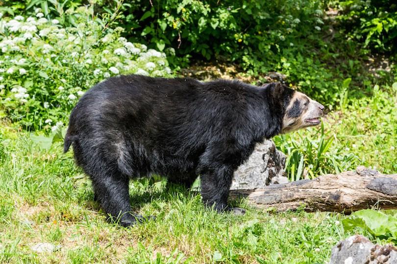 Spectacled bear - معرفی 12 خرس بزرگ جهان