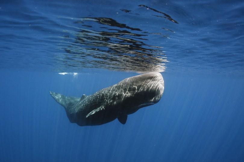 Sperm Whale - 10 نهنگ (وال) بزرگ دنیا
