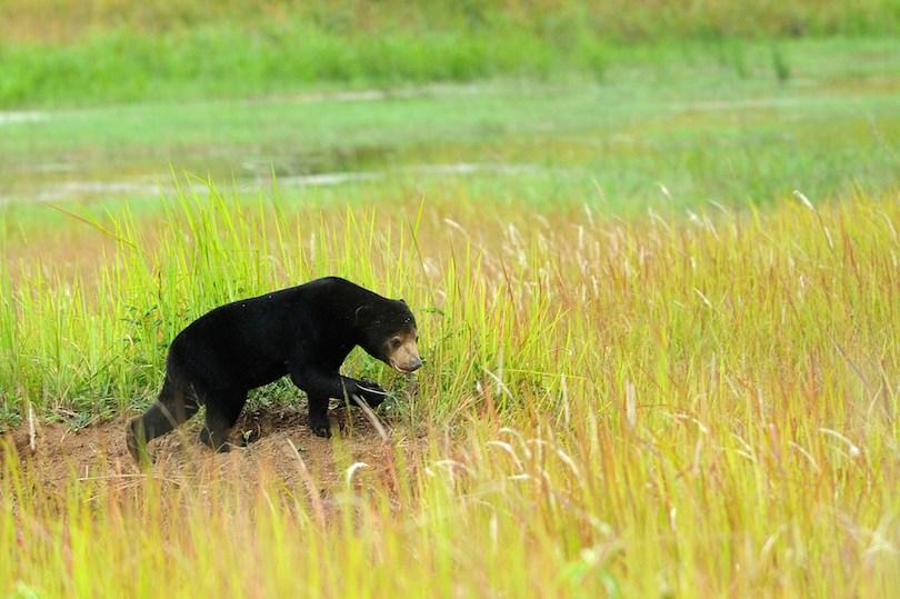 Sun Bear 1 - معرفی 12 خرس بزرگ جهان