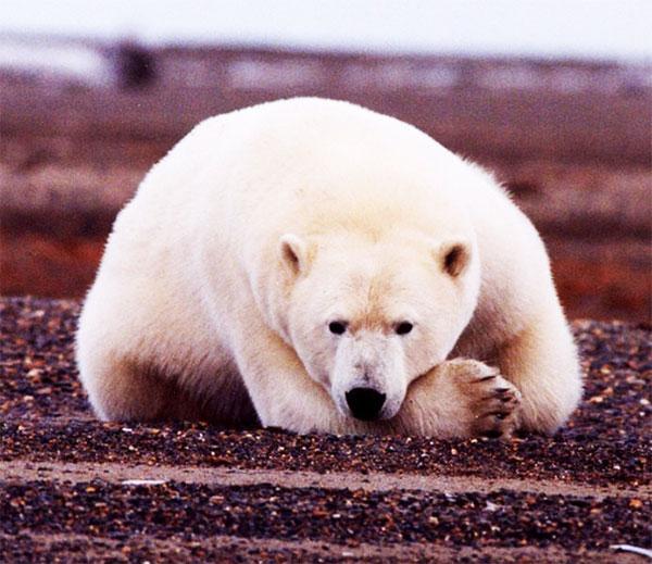 white bear 600 - معرفی 12 خرس بزرگ جهان