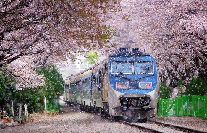 تونل شکوفه گیلاس، آلمان