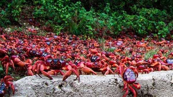جزیره Christmas کریسمس مهاجرت خرچنگ