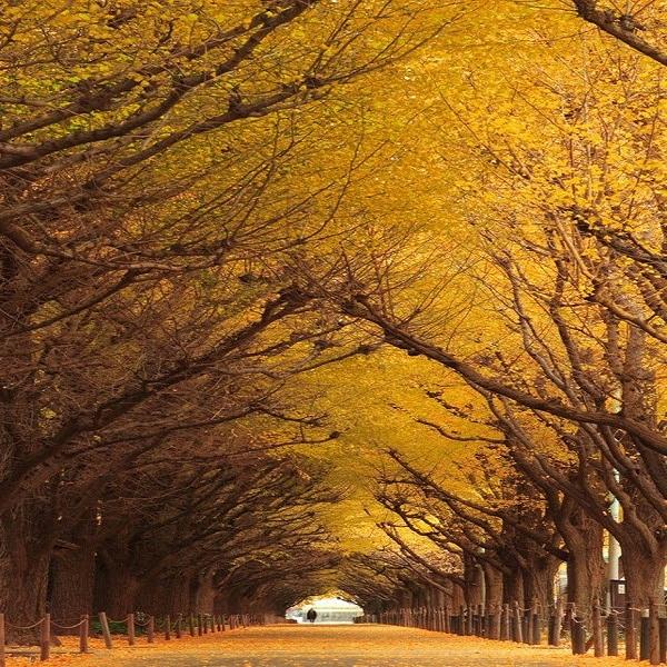 تونل درخت Ginkgo گینگو، ژاپن