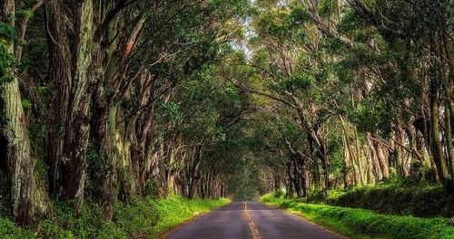 جاده درختان اوکالیپتوس