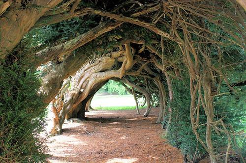 تونل درختی  Yew یو، انگلستان