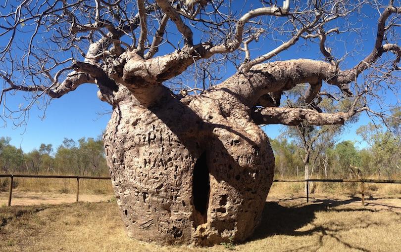 جالترین درختان جهان