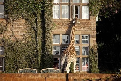 هتل زرافه ها در افریقا