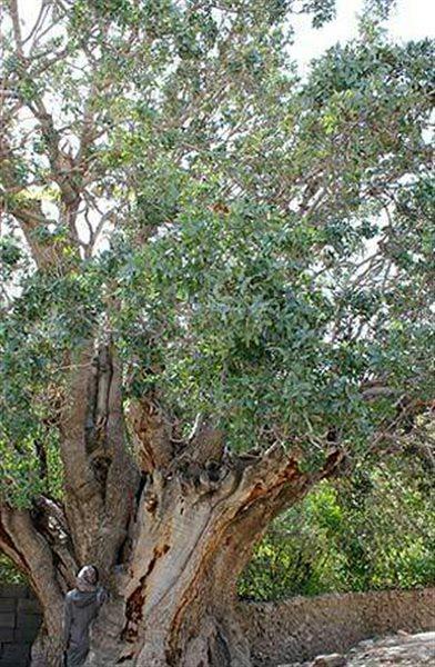 درخت-پسته-کهنسال-اودرج