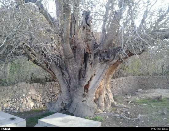 درخت پسته کهند رفسنجان