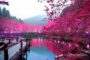 دریاچه شکوفه گیلاس، ژاپن