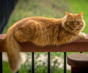 بزرگترین گربه های جهان