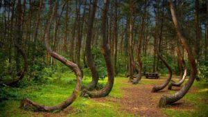 جنگل مرموز درختان کج در لهستان