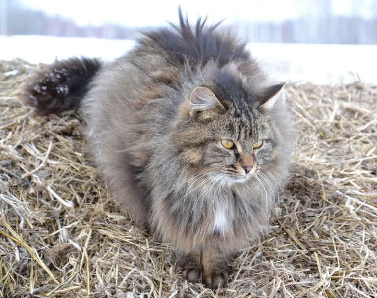 بزرگترین گربه های خانگی