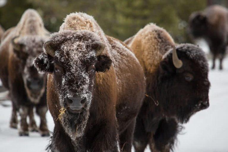 حیوانات شمال آمریکا