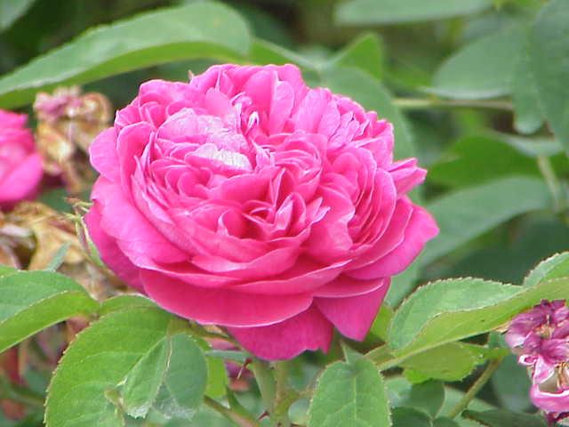 زیباترین گل دنیا