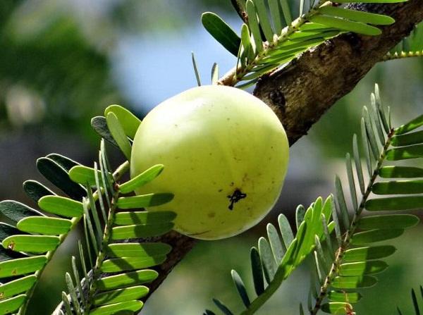 میوه برای سلامتی مو