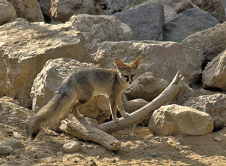 شاه روباه ایرانی